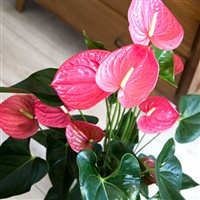 anthurium-et-son-cache-pot-200-5239.jpg